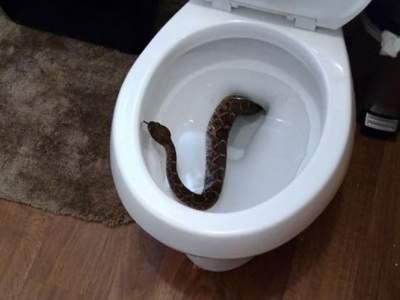 Niño encuentra serpiente de cascabel en su escusado