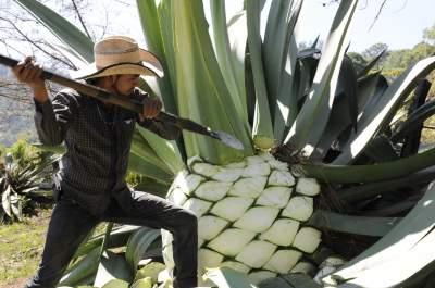 Ingrediente en el tequila ayuda a bajar de peso y niveles de azúcar