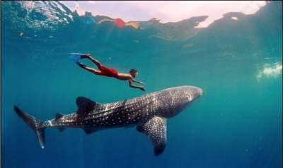SECTURE invita a nadar con tiburón ballena en Bahía de los Ángeles