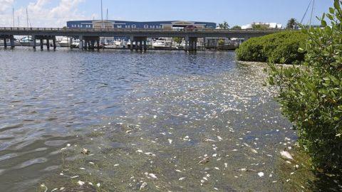 Marea roja ha dejado un centenar de manatíes y delfines muertos en Florida