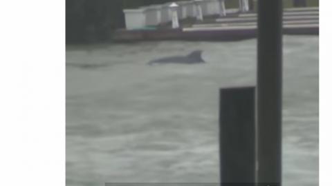 """VIDEO: Captan delfines nadando en inundaciones causadas por """"Florence"""""""