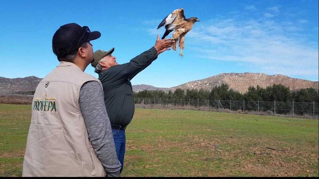 Resultado de imagen para 5 aves rapaces son rescatas y reintegradas a su hábitat