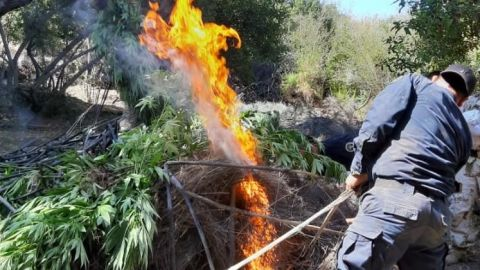 Localizan 3 plantios de marihuana en Ensenada