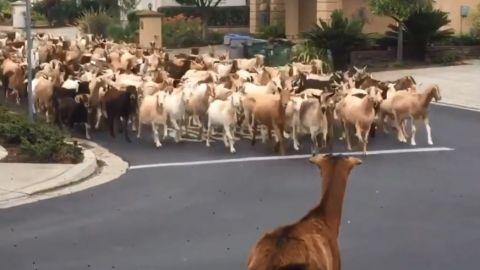 VIDEO: La naturaleza reclama lo que es suyo, cabras se adueñan de las calles