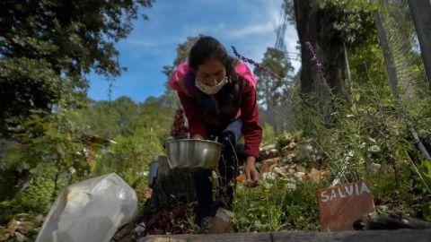 El renacer de las plantas ancestrales en Chiapas para combatir la COVID-19