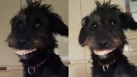 Perro roba la dentadura postiza de su dueña y se vuelve viral