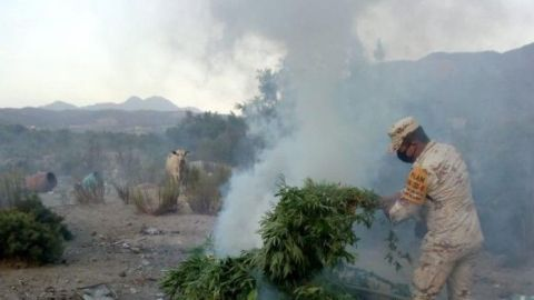 Más de 300 plantas de marihuana por SEDENA en Ensenada