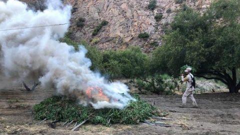 Sedena decomisó más de 31 toneladas de mariguana de enero a la fecha