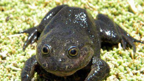 Encuentran rana de Hall, especie desaparecida hace más de 80 años