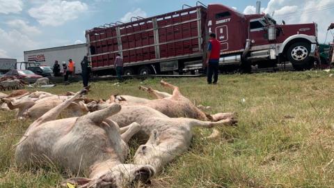 Vuelca camión cargado de borregos en Querétaro; se roban 100
