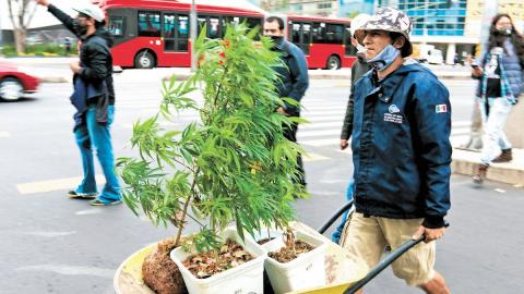 Divide opiniones ley sobre cannabis avalada en Senado