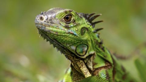 Ésta es la increíble razón por la que lloverán iguanas en Navidad en Florida