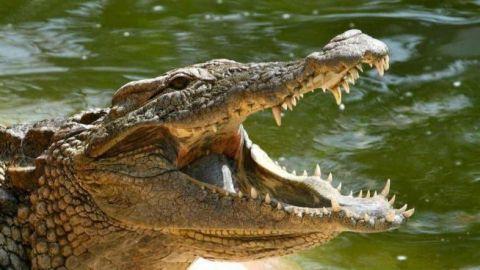 Cocodrilo caníbal devora a cocodrilito más joven