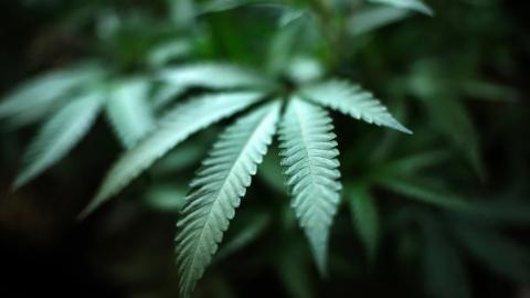 Estudian propiedades de la marihuana para combatir Covid-19