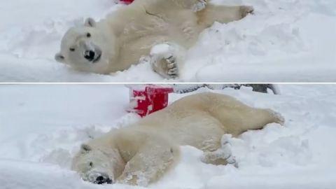 VIDEO: Oso polar disfruta nevada en zoológico de EU