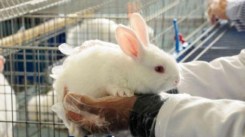 Activan emergencia de sanidad animal por enfermedad hemorrágica viral en conejos