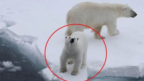 🐻❄️ Oso polar ruge contra turistas para cuidar a su mamá; video se hace viral
