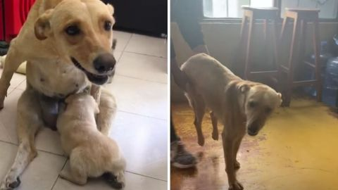 Perrita atropellada trata de sobrevivir para cuidar de sus cachorros