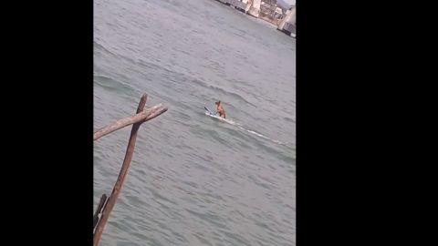 VIDEO: Captan a perro 'surfeando' en río de Alvarado, Veracruz