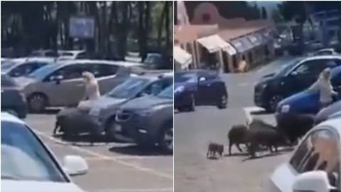 Jabalíes le roban las compras del supermercado a una mujer
