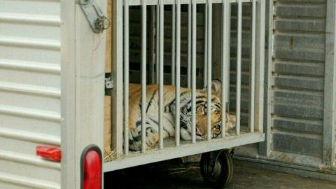Capturan ileso a tigre de Bengala que deambulaba en un vecindario de Houston
