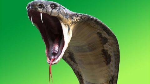 Alertan por cobra 'cebra' venenosa suelta en Carolina del Norte