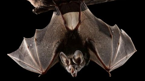 Buscan a personas que tuvieron contacto con murciélago rabioso en San Diego Zoo