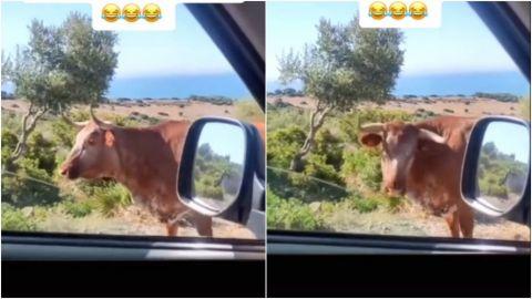 VIDEO: Buey da indicaciones a dos turistas de cómo llegar a una playa en España