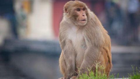 ¿Nueva amenaza? China reporta muerte humana por 'Virus del Mono B'