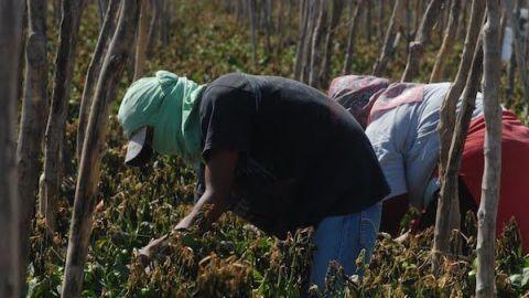 Se recrudece explotación laboral agrícola en BC