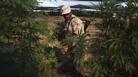 Abundan plantíos de marihuana en Baja California