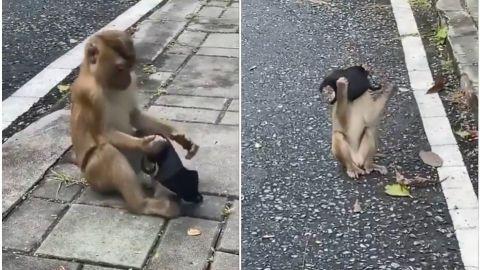 📹 VIDEO: ¡Ejemplo a seguir! Mono recorre las calles usando cubrebocas