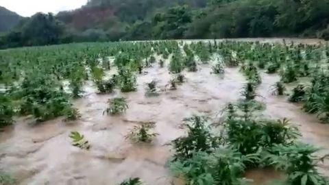 🎥 Marihuana bajo el agua, por lluvias, en Sinaloa
