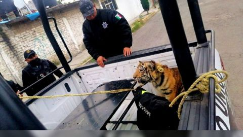 ¿A quién se le escapó? Cachorro de tigre deambulaba solo por calles