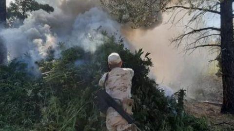 Continúa Sedena destruyendo narcoplantíos en Ensenada